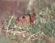 Imagem de rato-candango