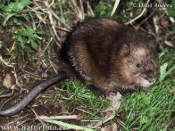 Imagem de rato-almiscarado