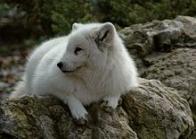 Imagem de raposa-do-ártico