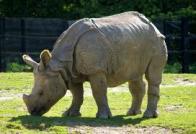 Imagem de rinoceronte-indiano