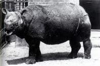 Imagem de rinoceronte-de-java