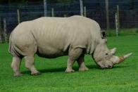 Imagem de rinoceronte-branco
