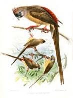 rabo-de-junco-de-dorso-vermelho