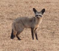 raposa-orelha-de-morcego