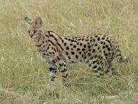 Imagem de serval
