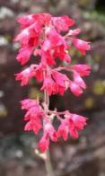 Imagem de sino-de-coral