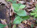 serpentária-da-virgínia