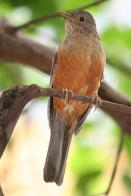 sabi�-laranjeira