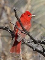 Imagem de sanhaçu-vermelho