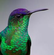 tesoura-de-fronte-violeta