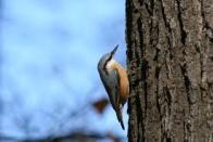 trepadeira-corsa