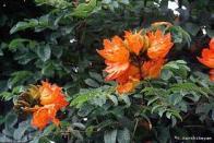 tulipeira-da-áfrica