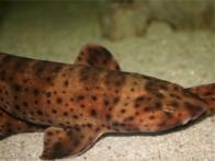 tubarão-dorminhoco