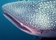 tubar�o-baleia