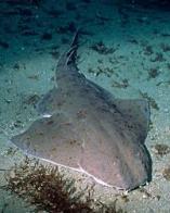 tubarão-anjo