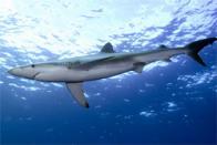 tubarão-azul