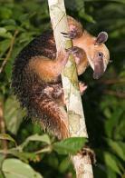 tamandu�-colete