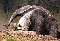 tamandu�-bandeira