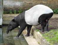 Imagem de tapir-da-mal�sia