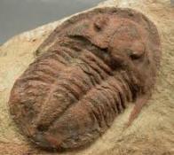 Imagem de trilobita