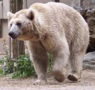 urso-siríaco
