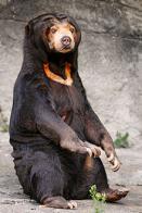 urso-do-sol