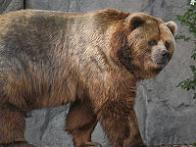 Imagem de urso-gigante-do-alasca