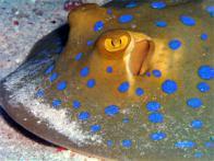 uge-de-manchas-azuis