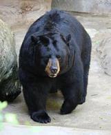 urso-preto-americano