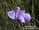 violeta-do-banhado