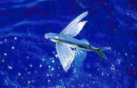 voador-holandês