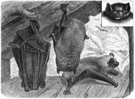 Imagem de vespertilionidae