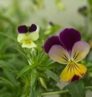 Imagem de violeta-do-campo