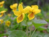 Imagem de violeta-de-duas-flores