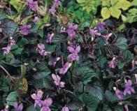 Imagem de violeta-brava