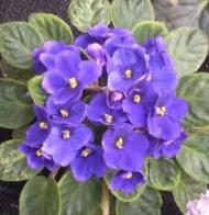 Imagem de violeta-africana
