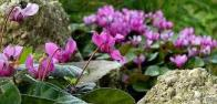 Imagem de violeta-dos-alpes