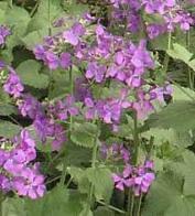 Imagem de violeta-da-lua